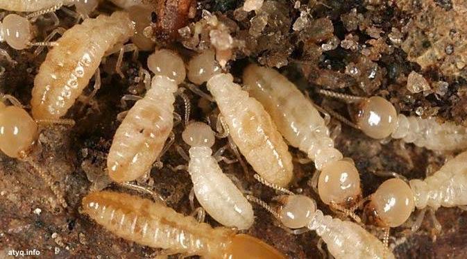 koloni rayap