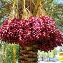 Pohon kurma (daunbuah.com)