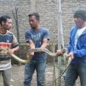 Ular Sanca ditemukan warga di atas atap rumah di Desa Tarogong, Garut. (Yat.R)