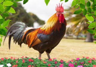 ilustrasi Ayam jantan. (Foto: Bobo.id)