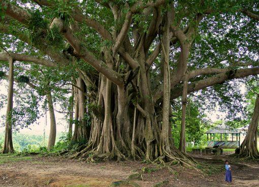 Ilustrasi pohon besar. (foto: WordPress.com)