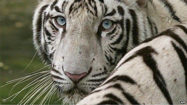 Harimau putih adalah spesies yang terancam punah. (Foto: AFP/BBC News)