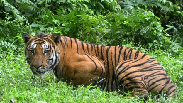India adalah rumah bagi 60% harimau di dunia. (Foto: AFP/BBC News)