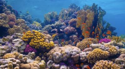 Laut Merah adalah rumah bagi banyak spesies koral dan biota laut, termasuk sejumlah besar spesies yang tidak ditemukan di tempat lain di bumi. (Courtesy: Situs web Proyek Laut Merah/Arab News)