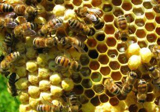 Ilustrasi lebah dan sarang. (Foto: Skalanews)