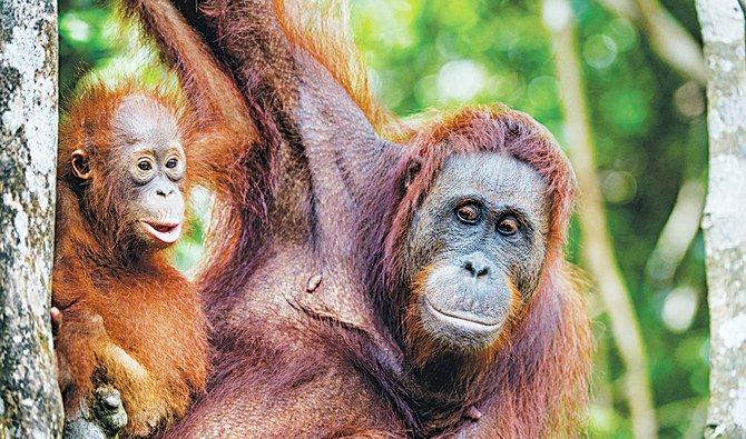 Ibukota baru akan dibangun di pulau Kalimantan, di mana Taman Nasional Kutai berada dan dikenal karena hutan hujannya dan populasi orangutan dan primata lainnya. (Foto: Shutterstock/Arab News)