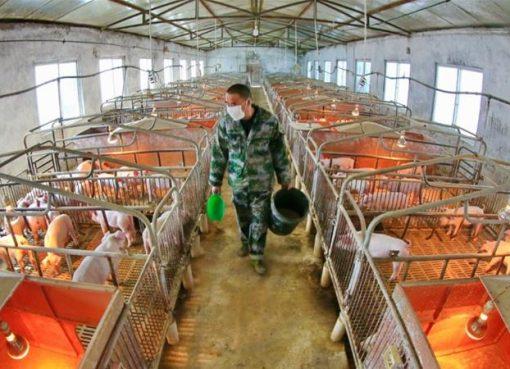 Menurut penelitian, pekerja peternakan babi menunjukkan peningkatan kadar virus baru dalam darah mereka. (File Zhong Min/China Out via EPA/Al Jazeera)